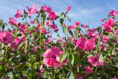 Beautiful background of Pink flowers lavatera in  bloom against the blue sky. Summer landscape. Beautiful background of Pink flowers lavatera in  bloom against Stock Photo