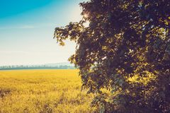 Summer Landscape. Beautiful field and tree on sunset Royalty Free Stock Photos