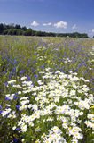 Summer landscape with beautiful wild flowers Royalty Free Stock Images