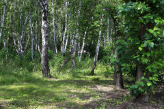 Summer landscape. Birch grove Royalty Free Stock Image