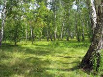 Summer landscape. Birch grove Royalty Free Stock Photo
