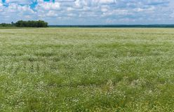 Summer landscape with blooming coriander field Stock Image