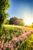 Summer landscape with blooming fireweed flowers Royalty Free Stock Image