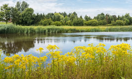 Summer landscape with blooming Tansy Ragwort on the banks of the Stock Photography