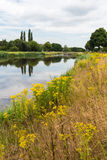 Summer landscape with blooming Tansy Ragwort on the banks of the Royalty Free Stock Photos