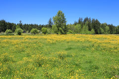 Summer landscape with blooming yellow field. Royalty Free Stock Photos