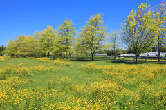 Summer landscape with blooming yellow field. Stock Photos