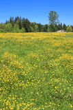 Summer landscape with blooming yellow field. Stock Photography