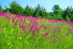 Summer landscape with the  a blossoming meadow Royalty Free Stock Photos