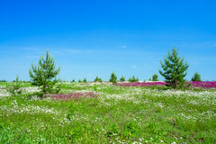 Summer landscape with the  a blossoming meadow Stock Photo