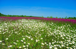 Summer landscape with the  a blossoming meadow Royalty Free Stock Photography