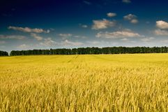 Summer landscape with cereals field. Royalty Free Stock Images