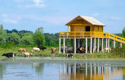 Summer landscape - chilling cows in the water and under the stilt house Royalty Free Stock Image