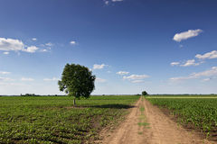 Summer landscape with country road and fields. Lonely tree. Royalty Free Stock Images