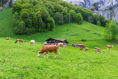Summer landscape with cow grazing on fresh green mountain pastures. Lauterbrunnen, Switzerland, Europe Stock Photos