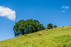 Summer landscape with cow grazing on fresh green mountain pastures. In Switzerland Stock Photos