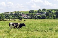 Summer landscape with cow grazing on fresh green pastures Stock Photo