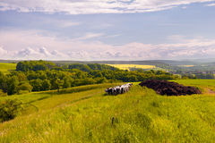 Summer Landscape with cows Royalty Free Stock Image