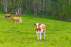 Summer landscape with cows grazing on fresh green mountain pastu Royalty Free Stock Images