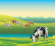 Summer landscape with cows and meadow. Royalty Free Stock Images