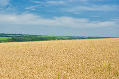 Summer landscape with crops Royalty Free Stock Image