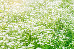 Summer landscape with  daisy flower meadow Stock Image