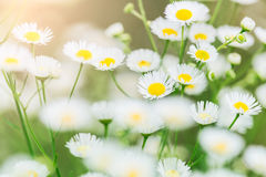 Summer landscape with  daisy flower meadow Stock Images
