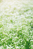 Summer landscape with  daisy flower meadow Royalty Free Stock Photos