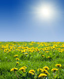 Summer landscape with dandelion meadow Stock Image