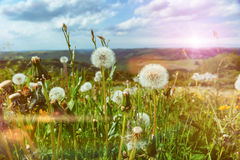 Summer landscape with dandelions Stock Photos