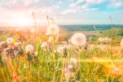 Summer landscape with dandelions. Nature background royalty free stock photos