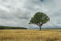 Summer landscape with dark storm clouds and old oak tree standing in oat field Royalty Free Stock Image