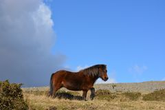 Summer landscape with Dartmoor pony in rural Devon, UK royalty free stock images