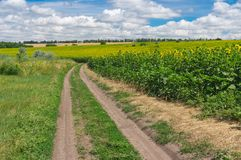Summer landscape with an earth road between meadow and flowering sunflower field Stock Photos