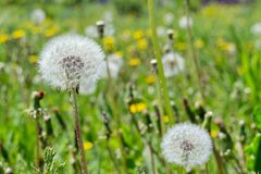 Faded fluffy dandelion florets milk-witch gowan on a background of a blossoming meadow. Summer landscape. Faded fluffy dandelion florets milk-witch gowan on a Stock Photo