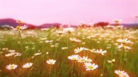 Field of blooming daisies.