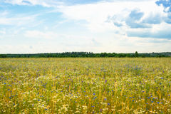 Summer landscape with a field, blue sky and white clouds. flower Royalty Free Stock Images