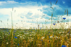 Summer landscape with a field, blue sky and white clouds. flower Stock Image
