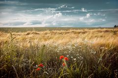 Summer landscape, field with ears of wheat, sky with clouds_. Summer landscape, field with ears of wheat, sky with clouds Royalty Free Stock Images