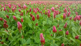 Summer landscape with a field of flowering pink clover and wildflowers. Trifolium pratense. Summer landscape with a field of flowering pink clover and royalty free stock image