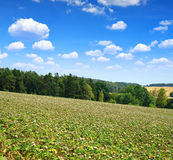 Summer landscape with field of Silybum marianum Royalty Free Stock Photo