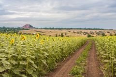 Summer landscape with a field of sunflowers Royalty Free Stock Photography