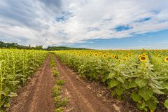 Summer landscape with a field of sunflowers Stock Photography