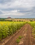 Summer landscape with a field of sunflowers Stock Photo