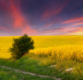 Summer Landscape with a field of yellow flowers Royalty Free Stock Photos