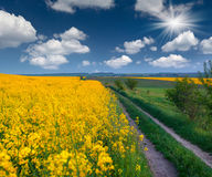 Field of yellow flowers Stock Images