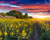 Summer landscape with a field of yellow flowers. Royalty Free Stock Photo