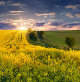 Field of yellow flowers. Stock Images