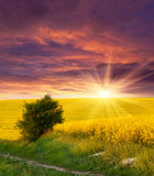 Field of yellow flowers. Sunset royalty free stock images