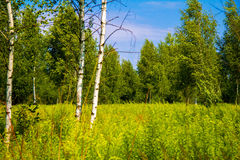 Summer landscape. Flowering meadow sunny morning in a summer forest Stock Images